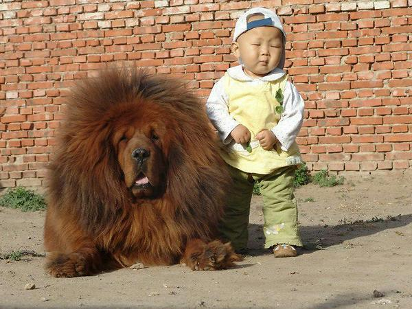 Large fluffy dog and small boy.