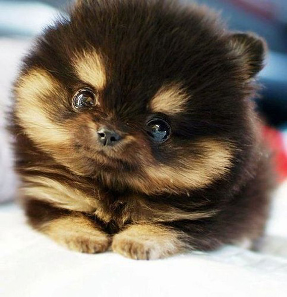 Fluffy small dog.