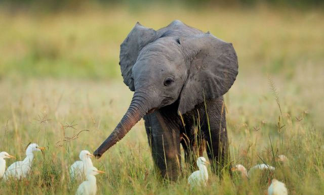 This cute baby elephant is playing with some cute baby ducks in a grassy field.
