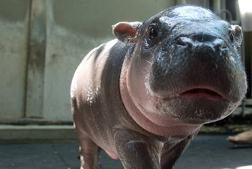 Baby Hippopotamus looking at the camera.  Hippopotamuses are cute animals that can kill you