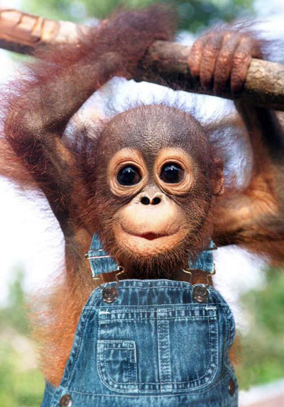 A cute baby monkey in overalls, hanging from a tree branch.