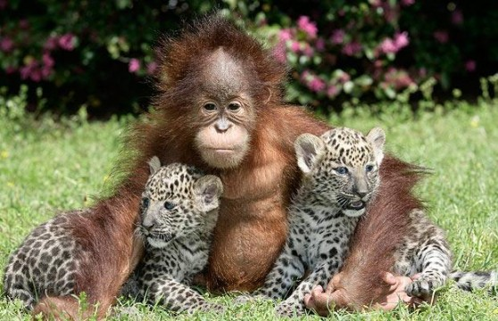 A cute baby orangutan hugging to adorable baby leopards.