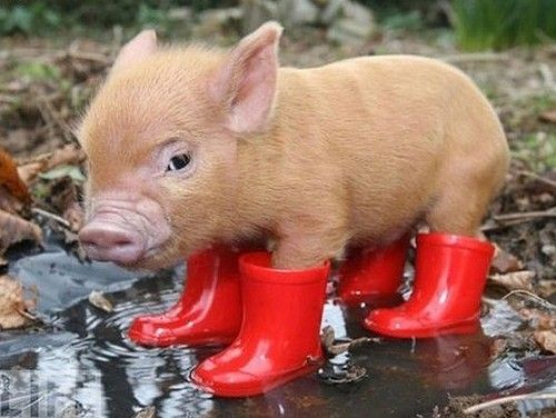 A cut baby pig in red gumboots, standing in a puddle of water.
