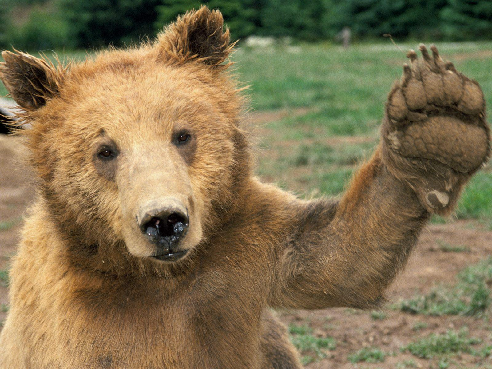 Cute Animals That Can Kill You - Slapped Ham Cute Grizzly Bear Waving
