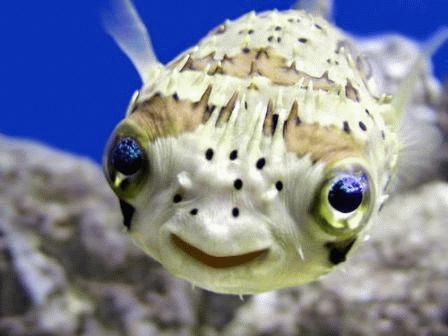 A cute baby puffer fish smiling at the camera.