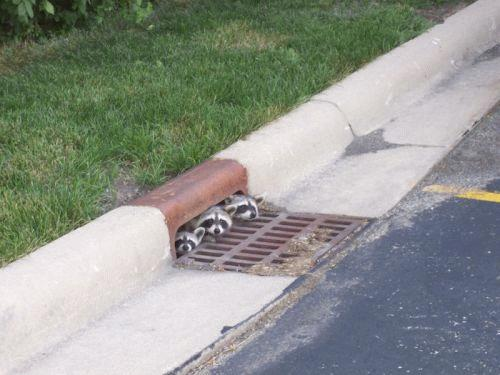 A cute and curious raccoon family poking their heads out of a drain.