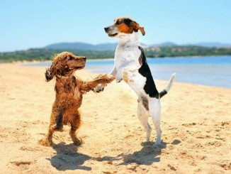 Two dogs dancing on the beach