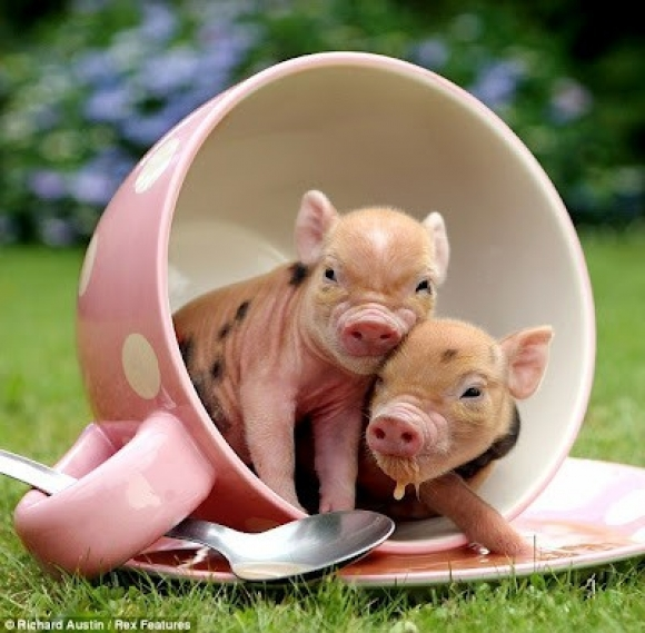 10 adorable teacup piglets slapped ham. Black Bedroom Furniture Sets. Home Design Ideas