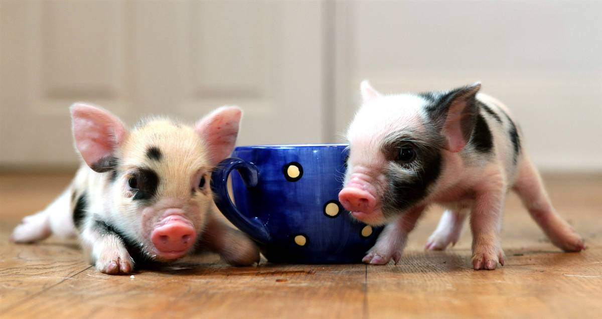 Pink Adult Teacup Pig Do You Think Pigs Are Cute or