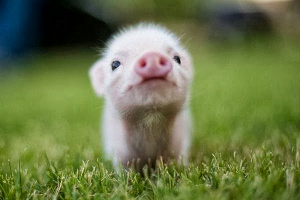 Here's an example of how adorable teacup piglets can be