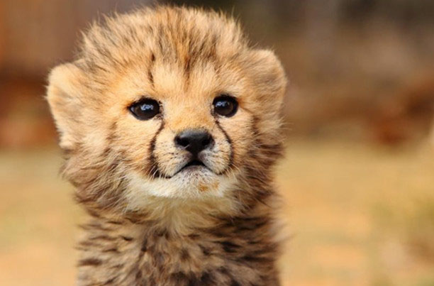 A baby cheetah close up is just one of the cute baby animals of Africa.