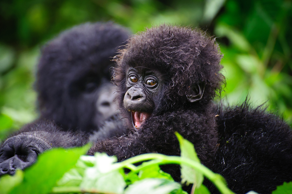 Cute baby gorilla - photo#4