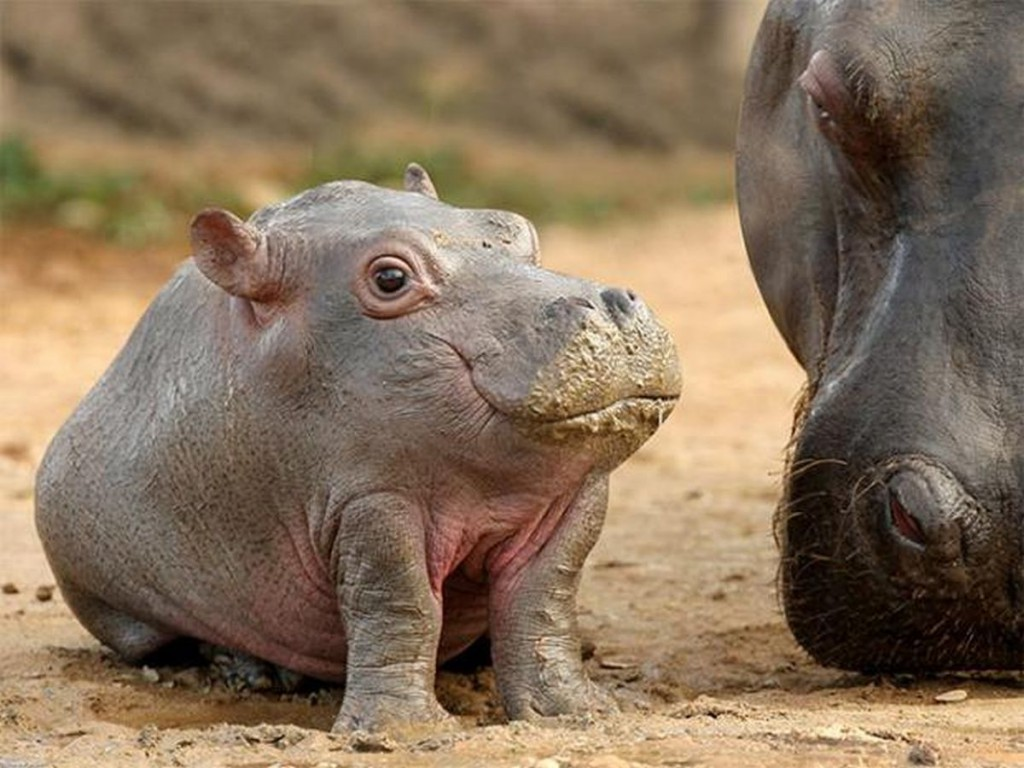 Baby Hippopotamus sitting in the mud.