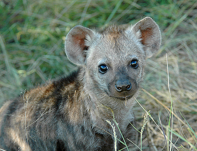 A baby hyena staring at the camera is one of the cute baby animals of Africa..