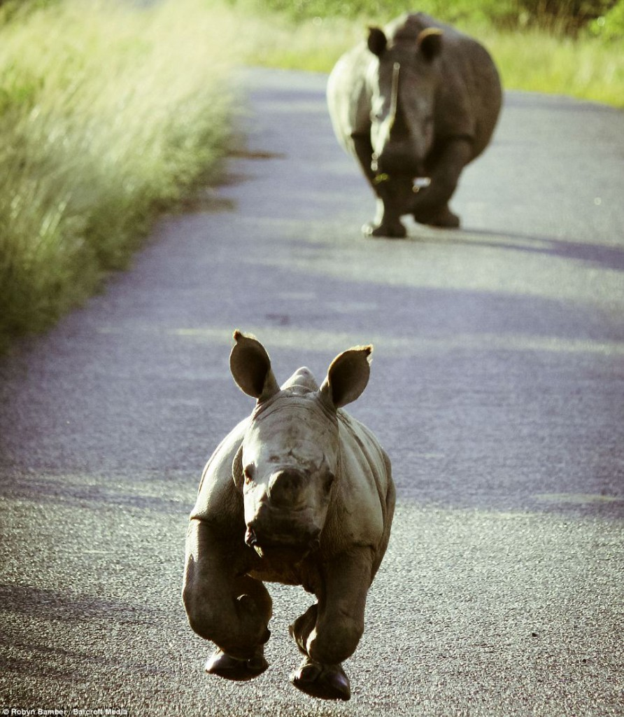 A cute baby rhinoceros running.