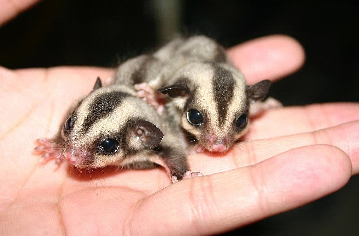 sugar gliders Pet sugar gliders for sale, mosaic sugar gliders for sale, pocket pets for sale, suggies for sale, suggies as pets, honey bears for sale, sugar glider breeder, tame, friendly sugar gliders for sale as pets, quality, imprinted and tame sugar gliders, sugar.