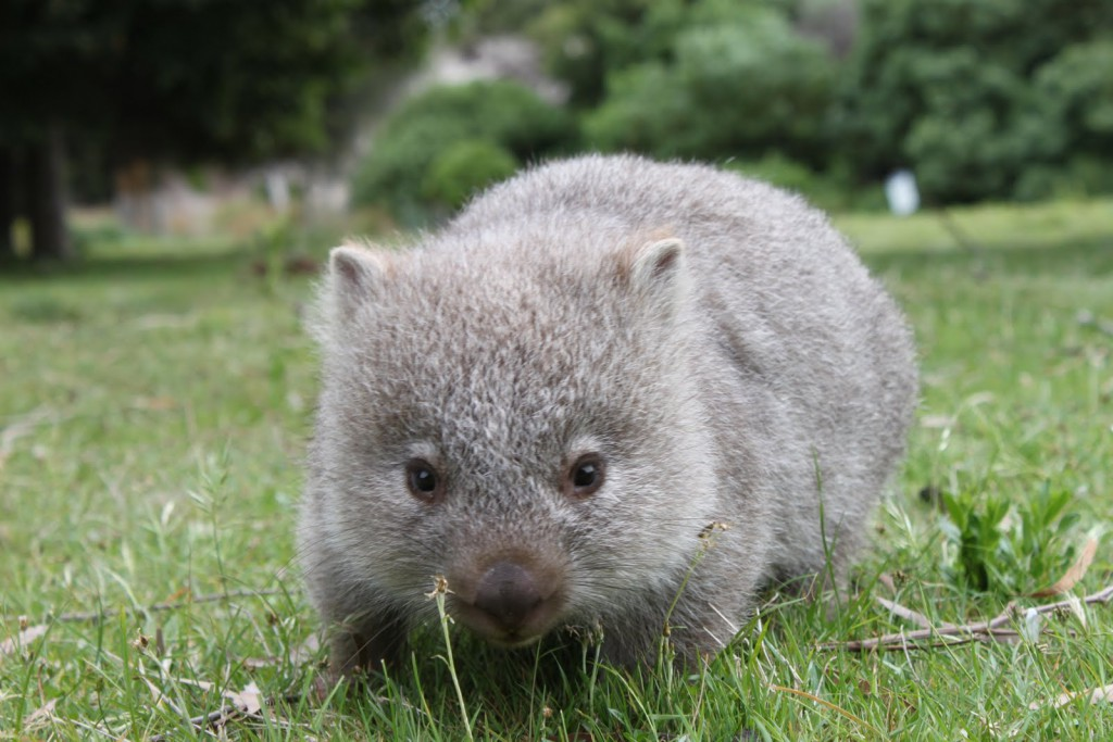A cute baby wombat looking at the camera is one of the cute baby animals of Australia.