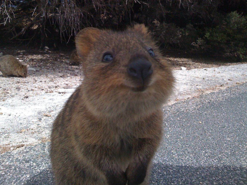 Baby quokka smiling - photo#1
