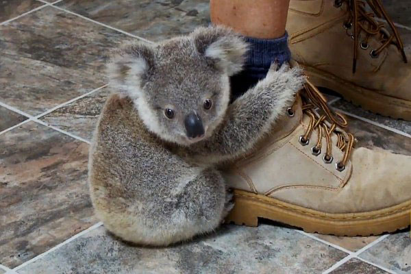 Cute Baby Koala Wallpaper cute baby koala
