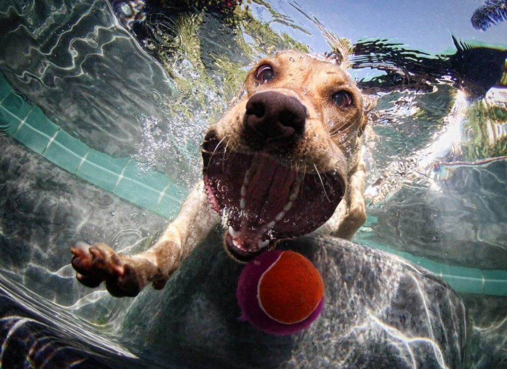 A dog stepping into a pool to get a tennis ball.