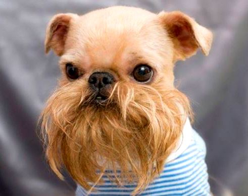 A small dog with a big beard.