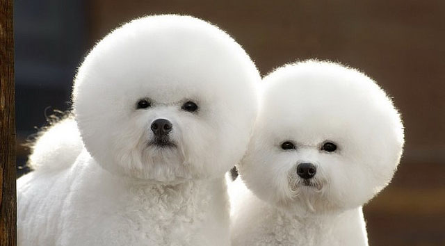 Two white dogs with afro hairstyles.