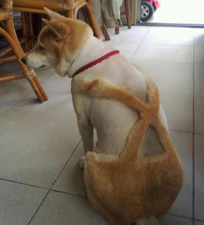 A big dog with shaved fur that looks like pants.