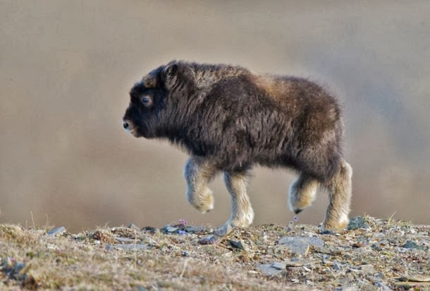 An adorable baby bison going for a walk.
