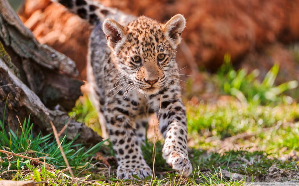 This baby jaguar is one of the cute baby animals of America.