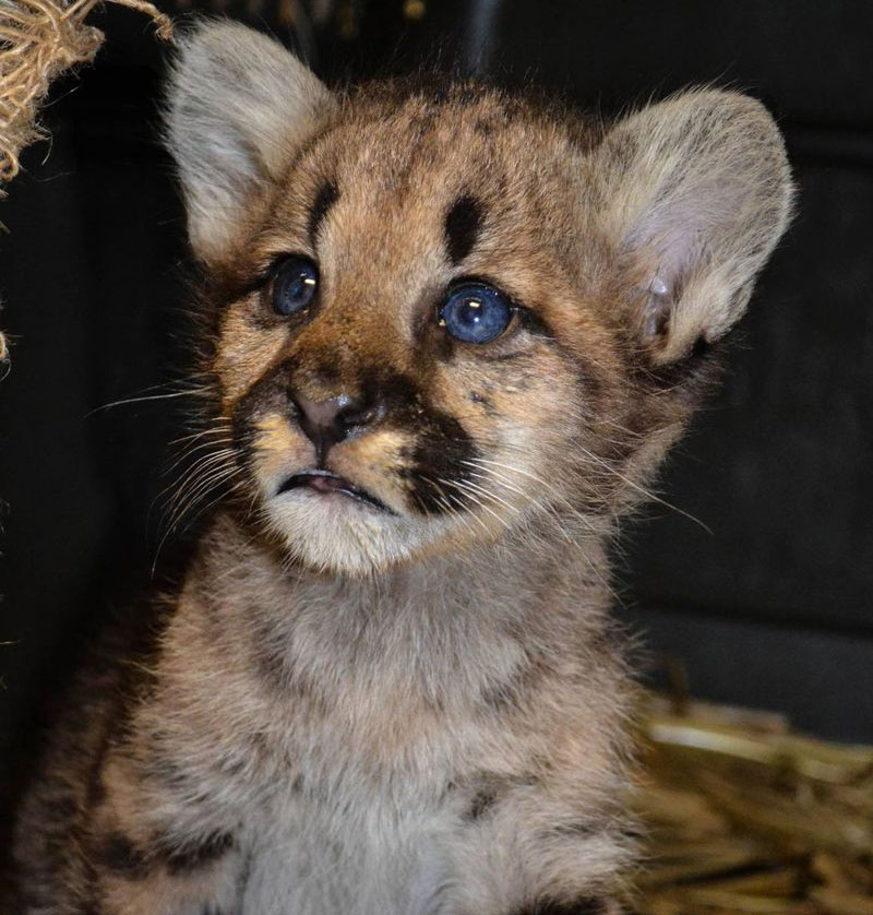 This adorable baby mountain lion with deep blue eyes is one of the cute baby animals of America.