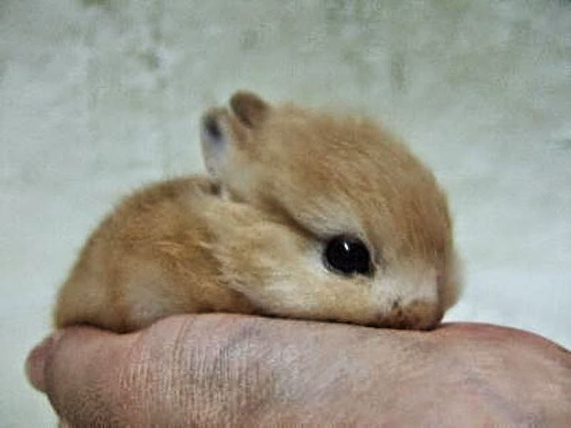 A cute baby rabbit lying in the palm of someones hand.