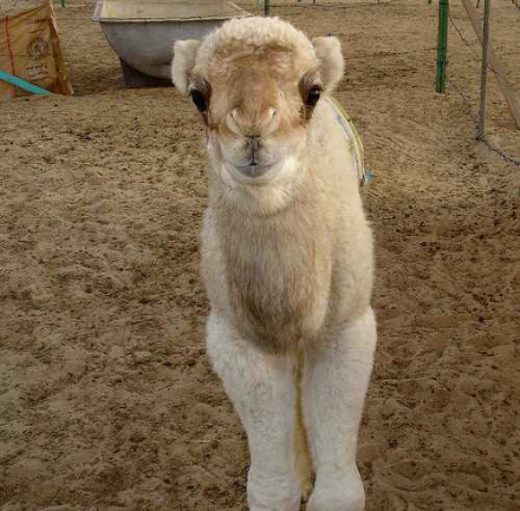A picture of a miniature camel staring at the camera - miniature animals.