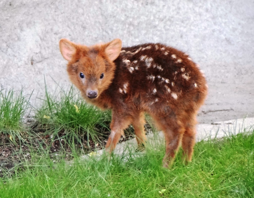 A photo of a miniature deer with white spotted fur - miniature animals.