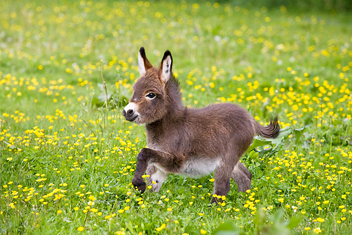 A picture of a miniature donkey trotting through a field of yellow flowers - miniature animals.