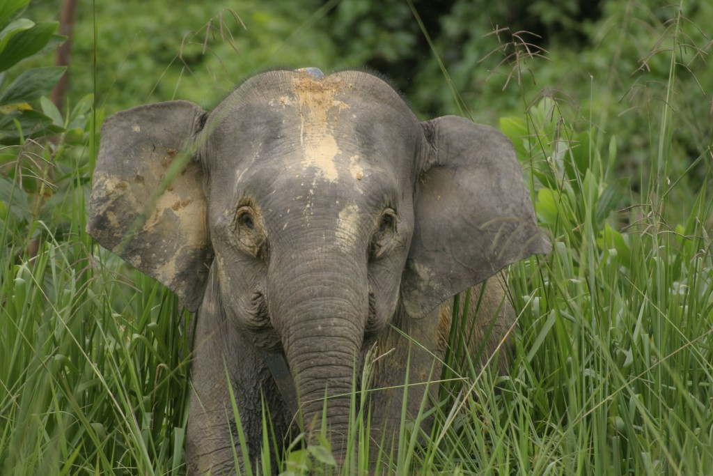 A photo of a miniature elephant walking through the tall grass - miniature animals.