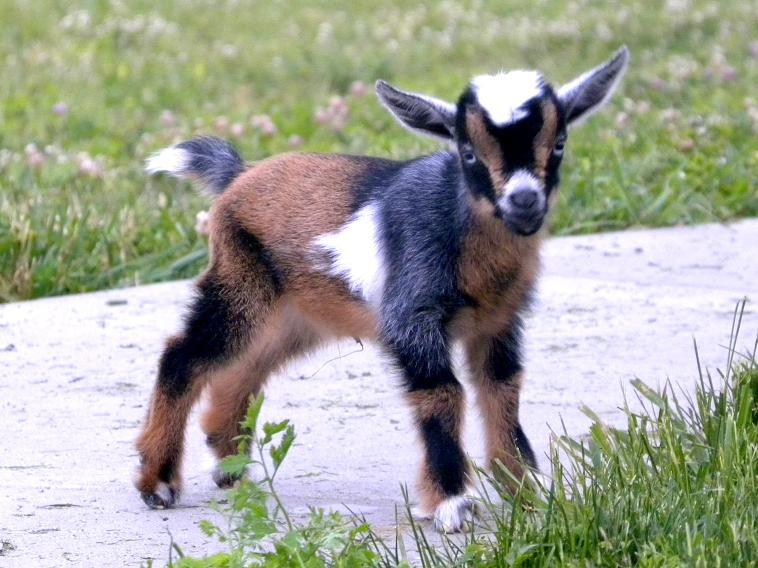 A photo of a miniature goat standing on a path.