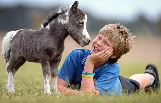 A picture of a miniature horse standing next to a small boy - miniature animals.