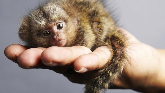 A picture of a pygmy marmoset lying on the palm of someone's hand.