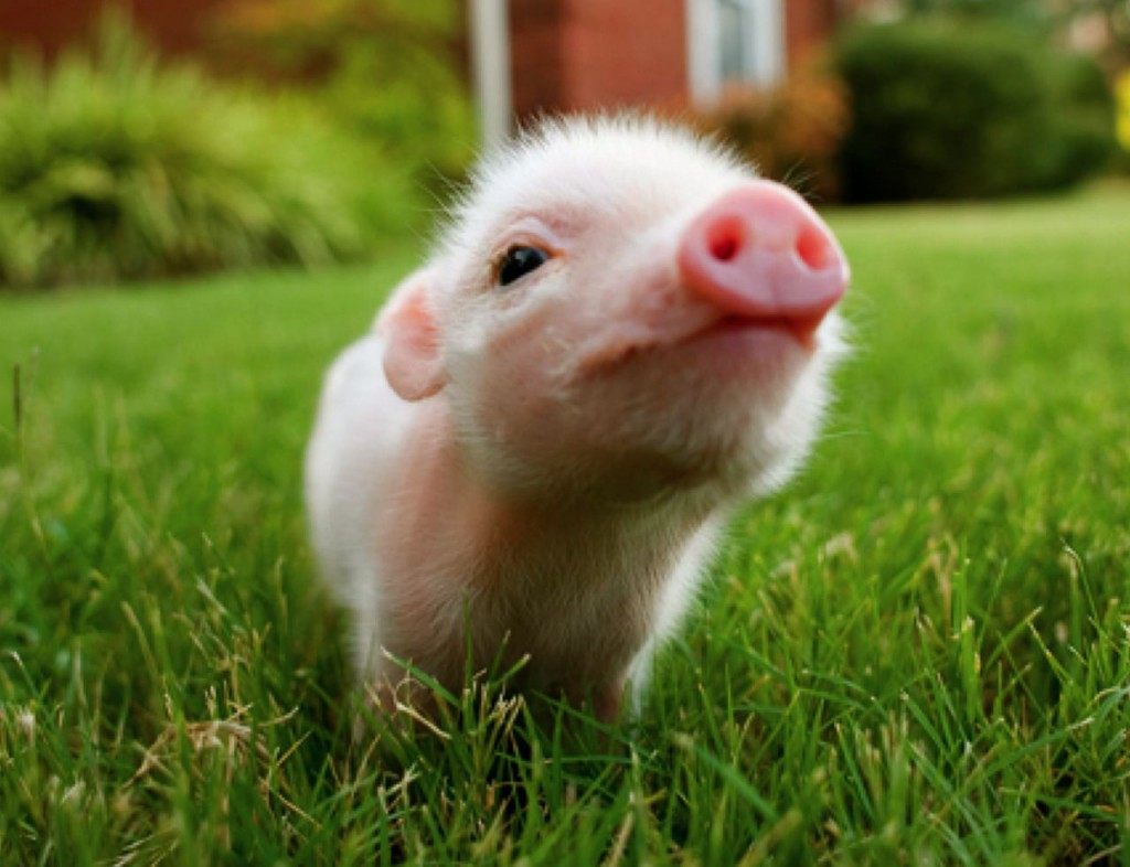 A picture of a teacup piglet sniffing the air, standing on green grass.