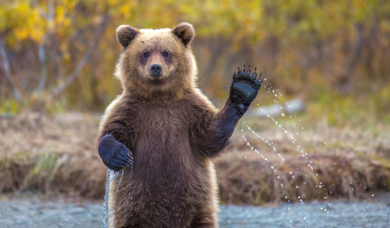 Cute Baby Animals Of America - Slapped Ham Cute Grizzly Bear Waving
