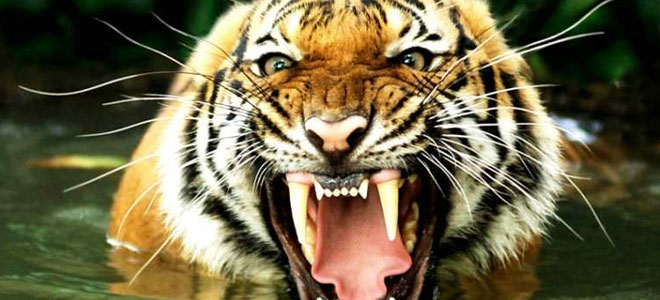 Animal tigers facts