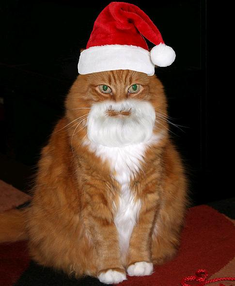 A ginger and white cat wearing a Santa hat - Cats In Hats.