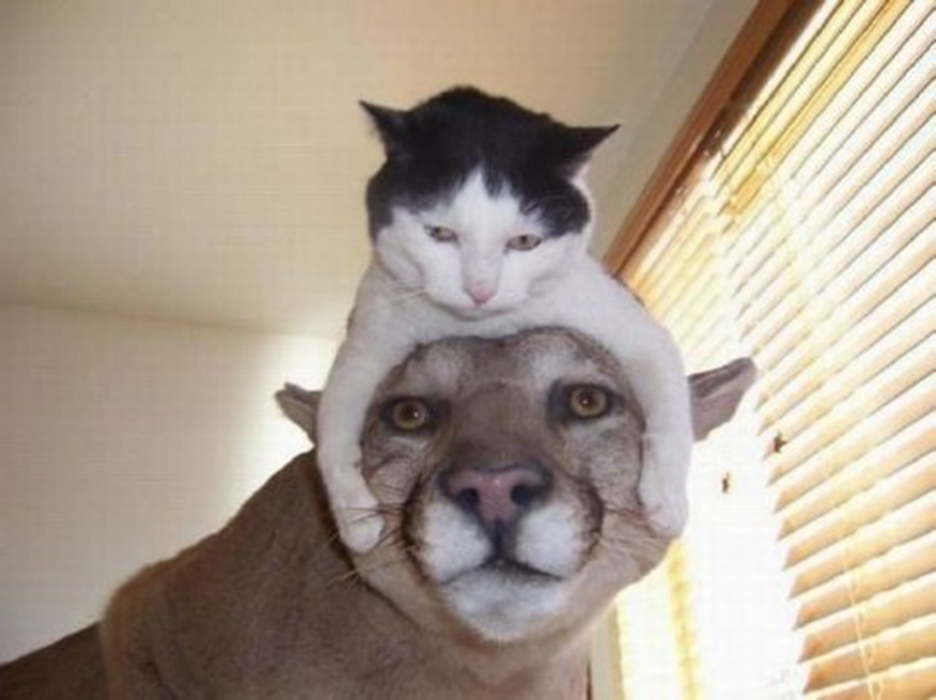 A cat sitting on the head of a mountain lion.