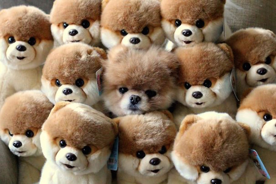 Boo the pomeranian hiding amongst many toy dogs - Dogs Acting Like Humans.