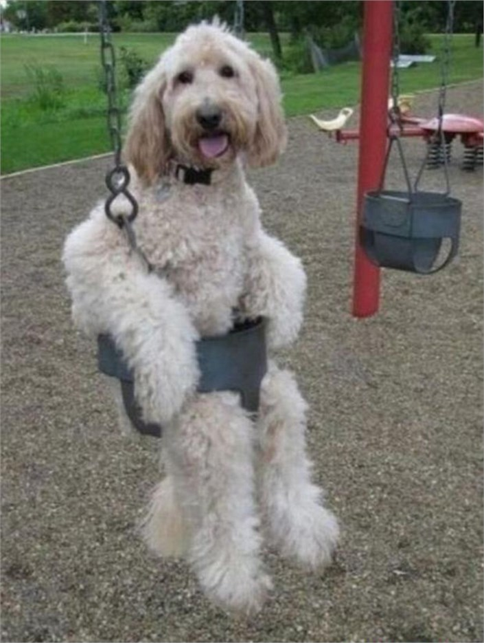 A dog playing on a swing - Dogs Acting Like Humans.