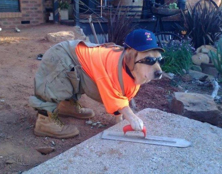 A dog dressed like a tradie cementing the backyard - Dogs Acting Like Humans.