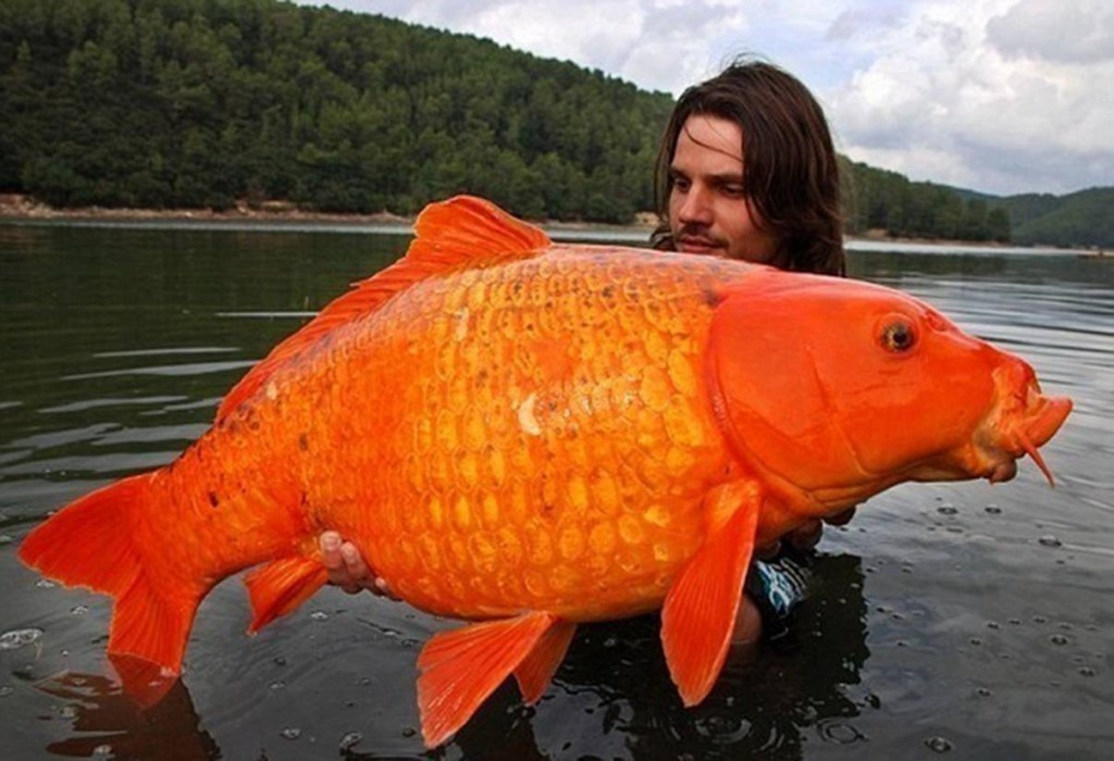 The world's largest goldfish.