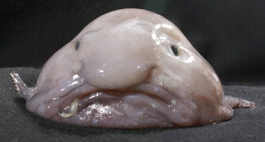 A blobfish out of water - 8 Most Alien-Like Creatures On Earth.