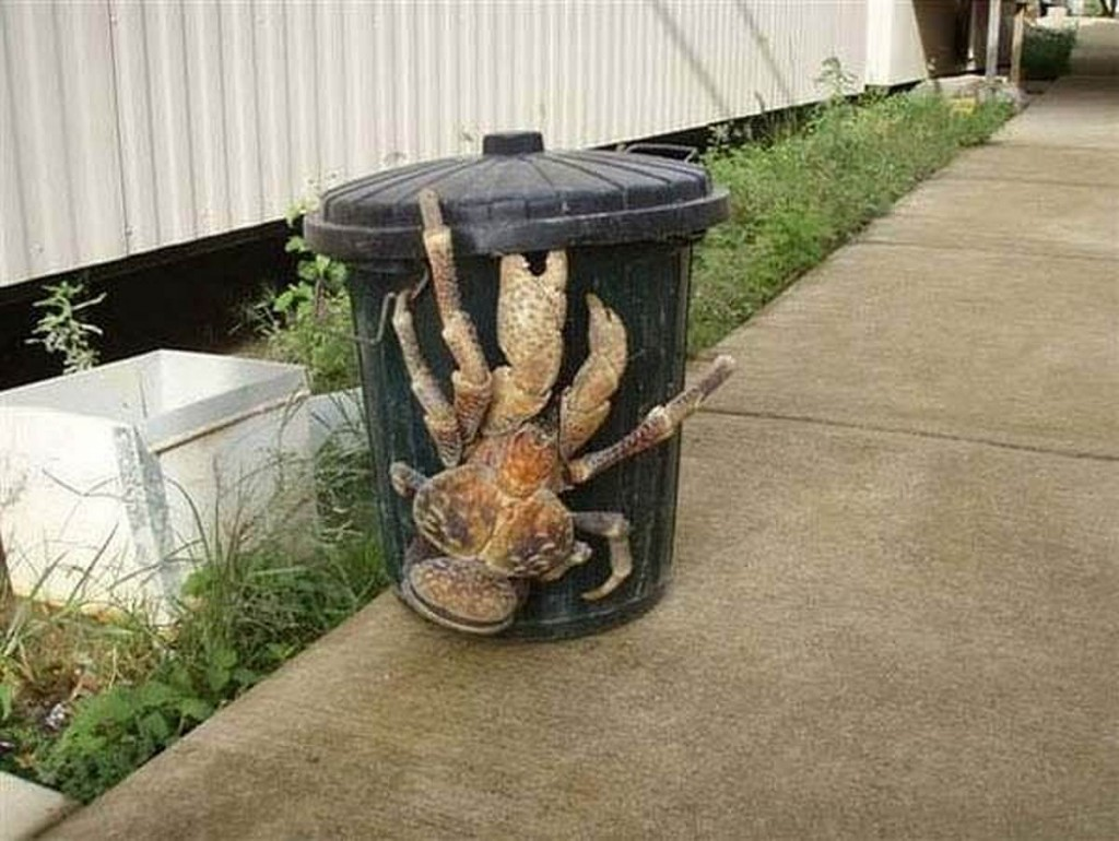 A coconut crab opening a bin - 8 Most Alien-Like Creatures On Earth.