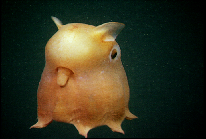 A yellow Dumbo octopus - 8 Most Alien-Like Creatures On Earth.